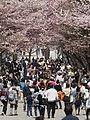 Way To Hokkaido Shrine At Cherry Blossom Time (205574261).jpeg