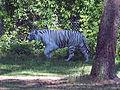 Weißer Tiger Serengetipark Hodenhagen.jpg