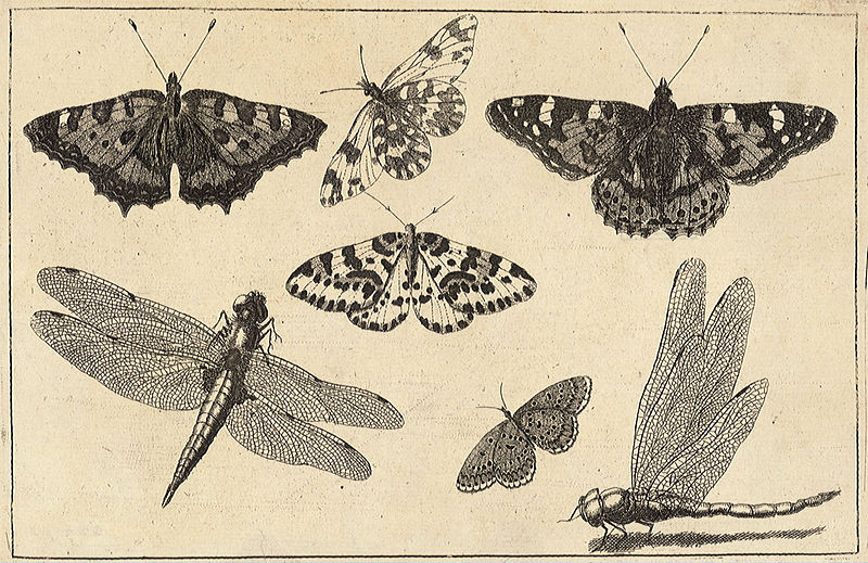 File Wenceslas Hollar - Two dragonflies and five butterflies jpgDragonflies And Butterflies