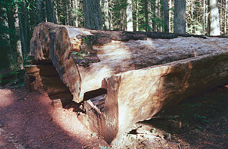 Western white pine - Western white pine in St. Joe National Forest. Died in 1998 and was cut down in 1999.