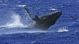 Humpback whale breaching off South Caicos Whale-off-south-caicos.jpg