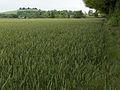 Wheat, Quarley - geograph.org.uk - 471509.jpg