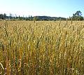 Wheat field 2.jpg