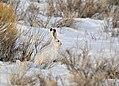 White-Tailed Jackrabbit on Seedskadee NWR (25046864155).jpg