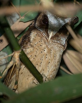 White-fronted Scops Owl (Female).jpg
