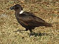 White-necked Raven Corvus albicollis Tanzania 3877 cropped Nevit.jpg