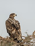White-tailed Eagle (25891953671).jpg