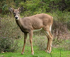 White-tailed deer at Greenough Park, Missoula.JPG