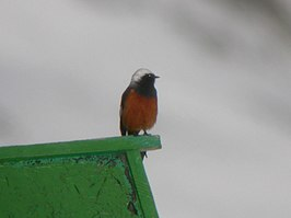 White-winged Redstart.jpg