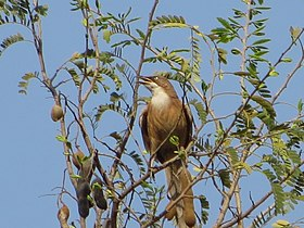 WhiteThroatedBabbler.JPG