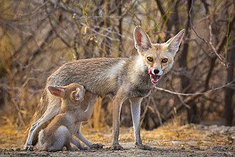 White-footed fox - Image: White Footed Fox pup suckling