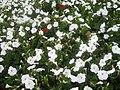 White and red flowers at Marble Arch 3.JPG