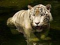 White tiger (13945315811).jpg