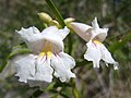 White trumpet flower Anza-Borrego.jpg