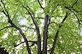 Wiener Naturdenkmal 100 - Winterlinde (Währing) l.JPG