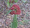 Wild Coffee berries (33193398480).jpg
