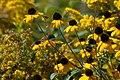 Wild Yellow Coneflowers PLT-FL-CF-27.jpg
