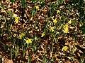 Wild daffodils - geograph.org.uk - 1200002.jpg