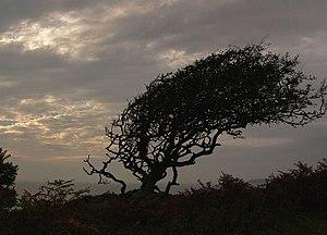 English: Windblown hawthorn On top of the heug...