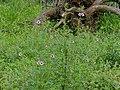 Winged-seed Sesame (Sesamum alatum) (13780895453).jpg