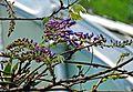 Wisteria sinensis.jpg