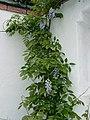 Wisteria sinensis11.jpg