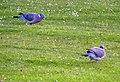 Wood Pigeons at Montrose - geograph.org.uk - 1310760.jpg