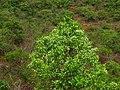 Wrightia tinctoria 033.jpg