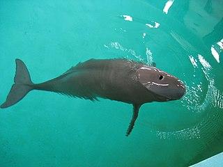 Narrow-ridged finless porpoise species of mammal