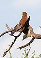 Yellow-billed kite, Milvus aegyptius, at Elephant Sands Lodge, Botswana (32099505302).jpg