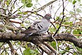 Yellow-eyed Dove (Columba eversmanni) (8079437904).jpg