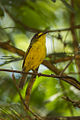 Yellow-lored Tody-Tyrant - REGUA - Brazil S4E1584 (12928403433).jpg