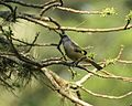 Yellow-winged Tanager.jpg