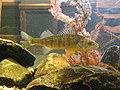 Yellow Perch P2270247.jpg