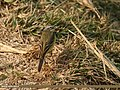 Yellow Wagtail (Motacilla flava) (32382317424).jpg