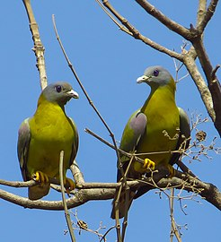 Yellow footed Green Pigeons in Gir forest (cropped).jpg