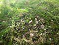 Young Aquatic fungus champignon Aquatique à lamelles Moyenne-Deûle mai 2015 F.Lamiot b 06.jpg