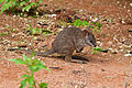 Young Kangaroo (5826245324).jpg