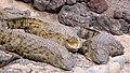 Young Nile Crocodiles (3308761119).jpg