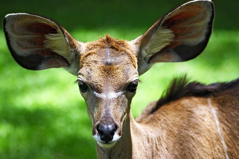 Young kudu with big ears (Kenya)