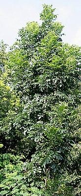 Mahagonibäume  Amerikanisches Mahagoni – Wikipedia