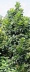 Young tree I IMG 8665.jpg