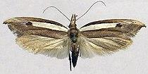Ypsolopha nigrimaculata.jpg