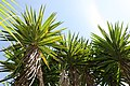 Yucca elephantipes 4zz.jpg