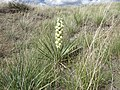 Yucca glauca (7496367582).jpg