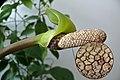 Zamioculcas zamiifolia db.jpg