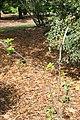 Zanthoxylum thomasianum 4zz.jpg