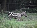 Zebra from Bannerghatta National Park 8697.JPG