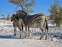 Zebras Etosha Namibia(1).jpg