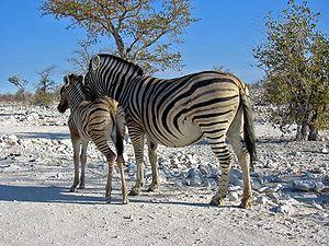 Steppenzebras im Etosha-Nationalpark